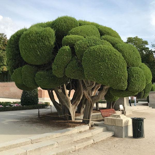 モフモフの木
